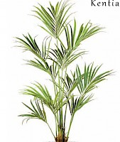 KENTIA PALM 180 cm, Green