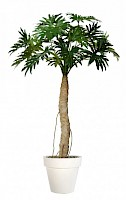 PHILODENDRON selloum w/pot 200 cm, green