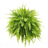 BOSTON FERN vjestacka biljka X 24 lvs. 37 cm, green